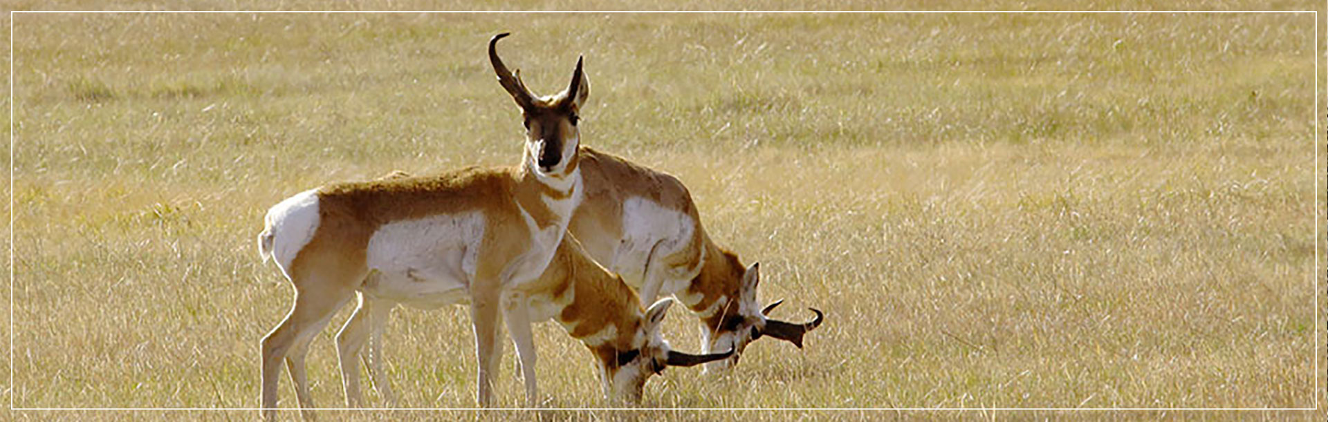 Nebraska Sandhills Pronghorn Antelope Hunts